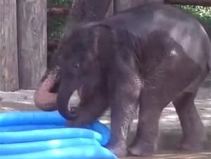 Bebé elefante que juega en la piscina