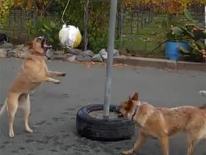 Dos perros Encantadores Participan en el Juego de Pelota más Lindo que Jamás Hemos Visto – Ayyyy!