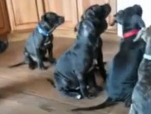 Los Cachorros más Pacientes del Mundo Esperan Obedientemente para Comer