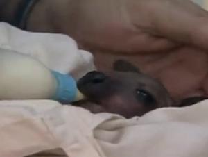 Una bebé canguro de 8 días de edad fue abandonada – Hasta que este individuo se presentó