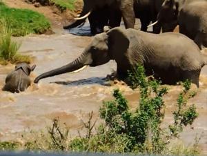 Cómo este Bebé Elefante Logró Llegar a Salvo a la Orilla, Me Tenía en el Borde de mi Asiento. ¡Guau!