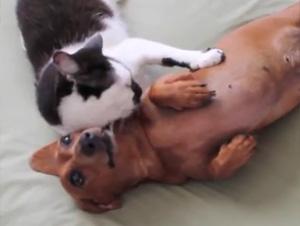 Al Parecer, Este Gatito Piensa que es Entrenador de Perros. ¡Demasiado Gracioso!