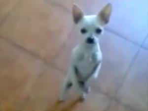 Perro Baila Flamenco ¡Y Le Hará Sonreír Instantáneamente!