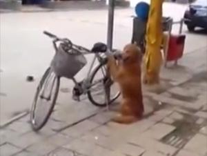 El Mejor Perro del Mundo Protege la Bicicleta – Después Hace Algo Tan Divertido