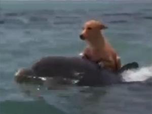 Delfin Salva a un Perro de Ser Comido por un Tiburón – ¡Tan Maravilloso!
