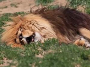 Este León Ruge Hasta en Sueños – ¡La Mejor Hora del Día!