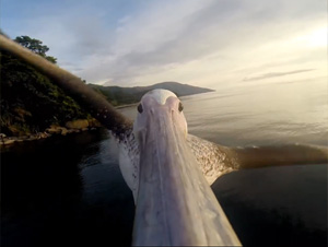 Este Pelícano Volvió a Aprender a Volar Sobre el Mar – ¡Pero Cómo lo Sabemos le Sorprenderá!
