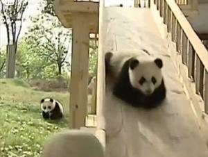 ¿Qué Puede Ser Más Divertido que 4 Bebés Panda en un Patio de Recreo? – ¡Tan Bello!