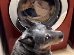 Este Perro Ovejero Espera 45 Minutos Para que Salga Algo Muy Importante de la Lavadora Automática.