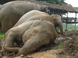 Estos Elefantes Están Tan Entusiasmados Por Algo que a la Mayoría de Nosotros Sólo nos Hace Quejarnos. ¡Y Acaba de Alegrar mi Día Enormemente!