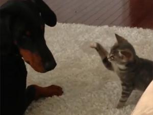 Este Gatito Está Conociendo a su Nuevo Hermano Mayor por Primera Vez. ¡Qué Comience la Lindura! :)