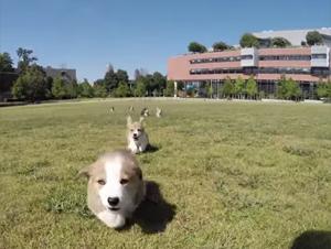 Cuando Estos Cachorros Corgi Invaden este Campus, ¡Es una Completa Sobrecarga de Lindura! – Videos Lindos
