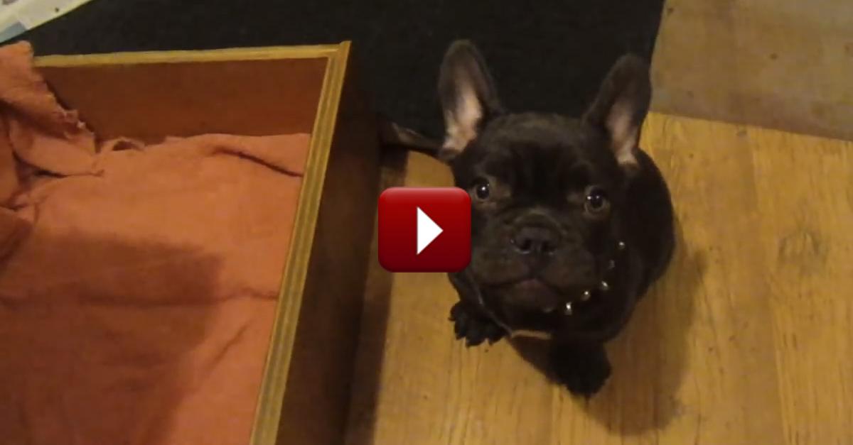 Precioso Perrito Discute con Su Dueña Sobre la Hora de Dormir – ¡Tan Bellos Sonidos!