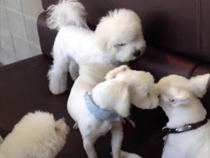 Cuando Estos 2 Cachorros Comenzaron a Luchar, ¡Usted se Va a Reir Sobre Quien Tuvo que Separarlos! – Videos Lindos