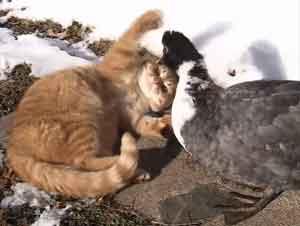 Dos Gatos Son Los Mejores Amigos De Un Bello Pato – Videos Lindos