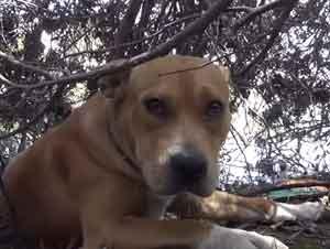 Pitbull Abandonada en la Playa es Rescatada Gracias a una Estrella de Hollywood