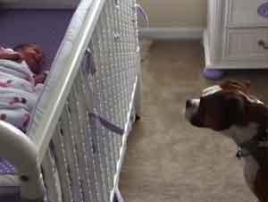 Cuando su Bebé Humano Llora, Este Perrito Boxer Hace La Cosa más Dulce