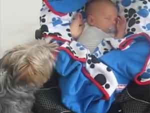 ¡Este Perrito Yorkie Derrite Corazones Cuando Hace Esto para el Bebé!