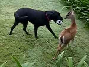 Vea el Más Lindo Juego de Pelota entre Perro y Ciervo Bebé – ¡Esto es Precioso!