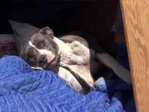 ¡Un Enfermo y Herido Perro Pitt Bull Obtiene un Asombroso Rescate!