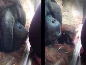 ¡Lo Que Este Orangután Hizo en el Zoológico Derritió mi Corazón!