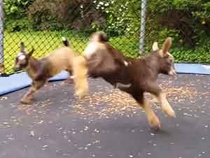 Cabras bebes saltando en un trampolín.