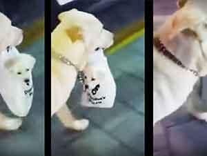 Esta perrita lleva cargando a su cachorro en una bolsa de plástico y es adorable.