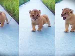 El pequeño rugir de este león es adorable, que diga, totalmente aterrador… LOL!