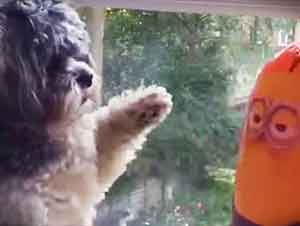 Este pequeño cachorro pelea con un minion y es encantador!