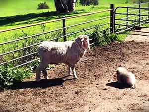 Un pequeño cachorro pastoreando ovejas? Ver para creer!
