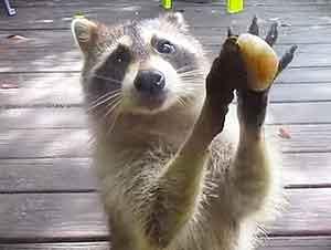 Esta pequeña mapache aprendió cómo pedir comida de una manera más cortés!