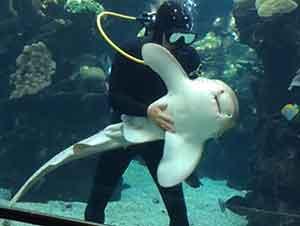 Un tiburón interrumpe a un buzo para que lo acaricien.