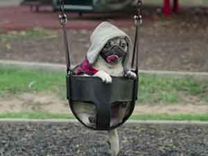Un dia en la vida de Doug el perro pug