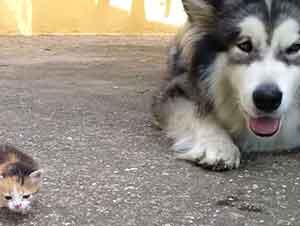 Un perro gigante y un gato diminuto se conocen por primera vez!