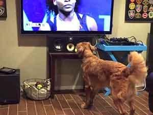Perro se emociona al ver jugar tenis en la televisión