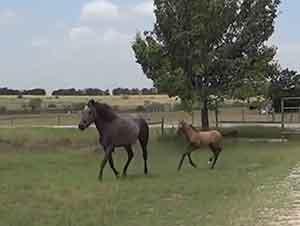 Mama caballo enseña a saltar a su potrillo
