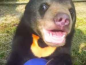 Cachorro de oso juega en un santuario para animales en cautiverio.