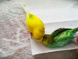 Canario no deja que se lleven el cuerpo de otro canario