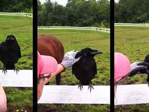 Ayudando a un cuervo herido