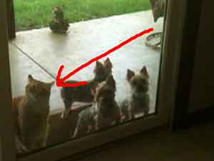Gato inteligente ayuda a abrirle la puerta a los cachorritos.