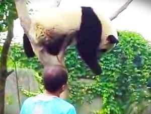 Un Pandita Quiere Un Abrazo Para Bajarse Del Árbol