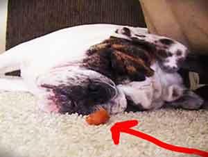 Cachorro se despierta para comer un premio.