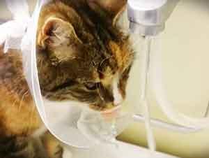 Gato usa su collarín para su ventaja después de su cirugía.