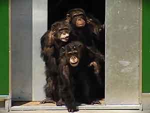 Chimpancés en cautiverio juegan al aire libre por primera vez.