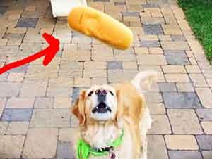 Perro no puede atrapar su comida.