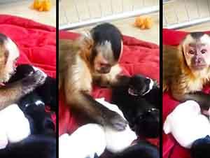 Chango capuchino cuida de perros recien nacidos