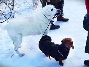 Perro Viejo Saca A Pasear A Su Amigo en La Nieve