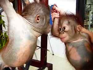 Orangutanes Bebés Se Conocen Por Primera Vez