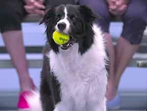 Perro Recogen Las Pelotas En Partido De Tenis