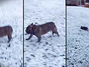 Bulldog Francés Juega a Deslizarse En La Nieve